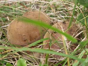 Садиба Дримба – грибний сезон
