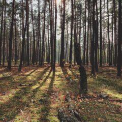 Сосни, лес и солнце